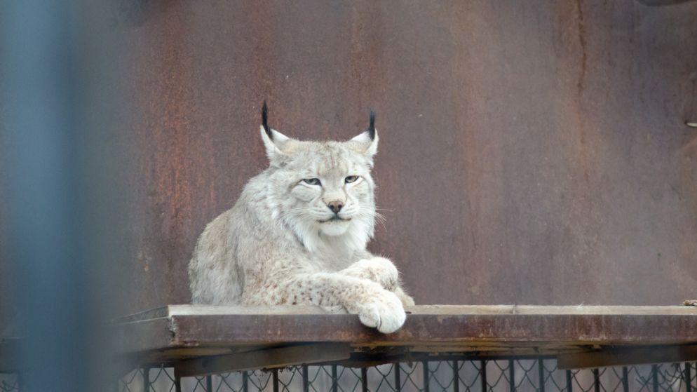 15. Tien Shan lynx
