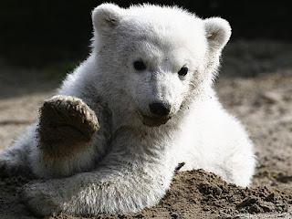 Imagem de arquivo do urso polar Knut ainda filhote, em março de 2007, no Zoológico de Berlim (Foto: Herbert Knosowski/AP)