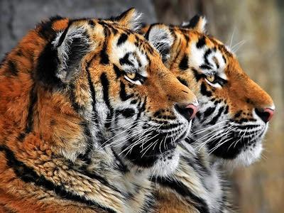 2 tigres de perfil