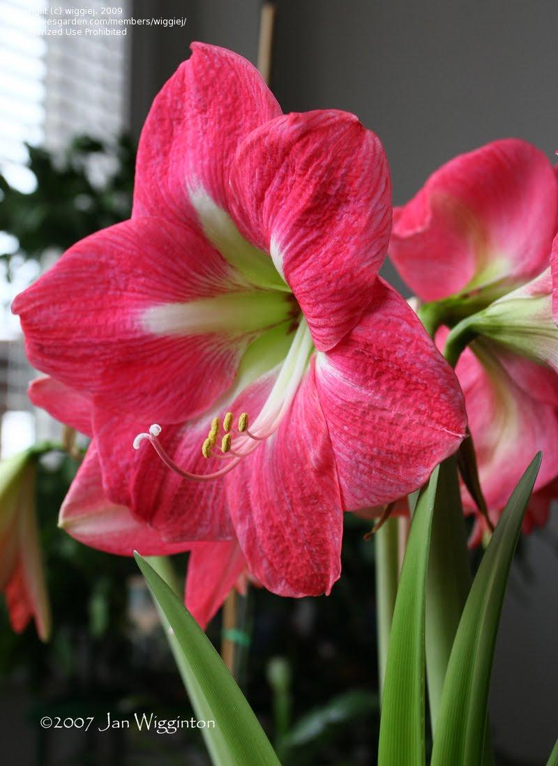 Wedding flowers amaryllis pink for Amaryllis rose