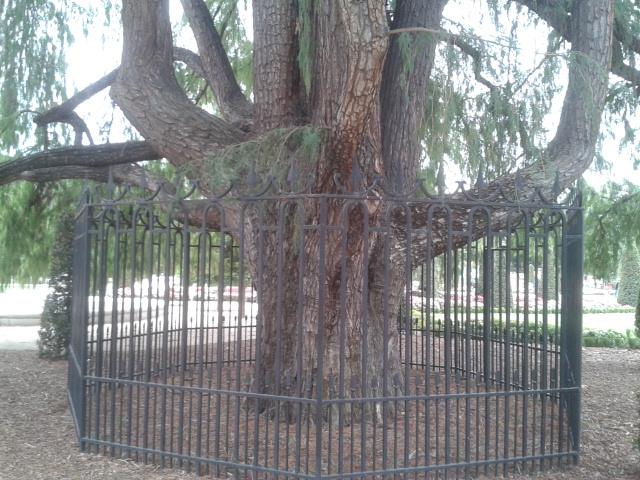 Disfrutando de madrid el rbol m s antiguo de los parques for Tala de arboles madrid