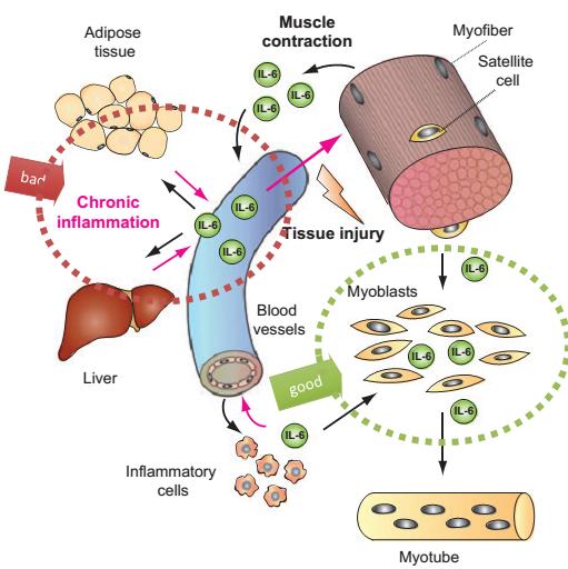 Resultado de imagen de funcion endocrina del musculo