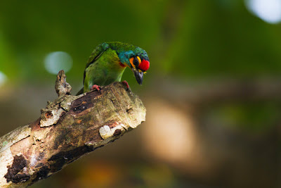 Photograph of a Ceylon Small Barbet taken in Thalangama, Sri Lanka