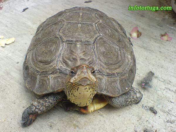 Rhinoclemmys pulcherrima incisa