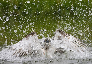 aguila en el agua