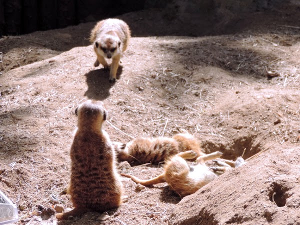 Meerkats may look like prairie dogs on a diet, but they are really related to the mongoose.