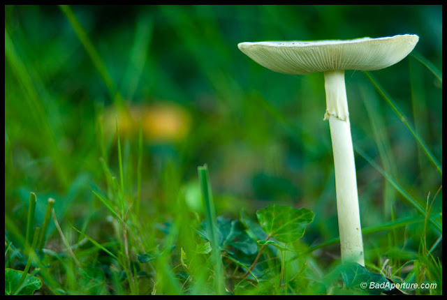 White mushroom grows in green grass