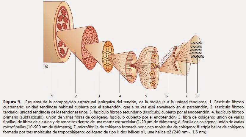 Kinesiología y Rehabilitación para Todos: Tendón: Anatomía y Fisiología