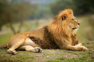 Imagenes de leones imagen leon descansando en la sabana - Animales salvajes apareandose ...