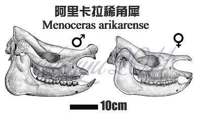 Menoceras skull