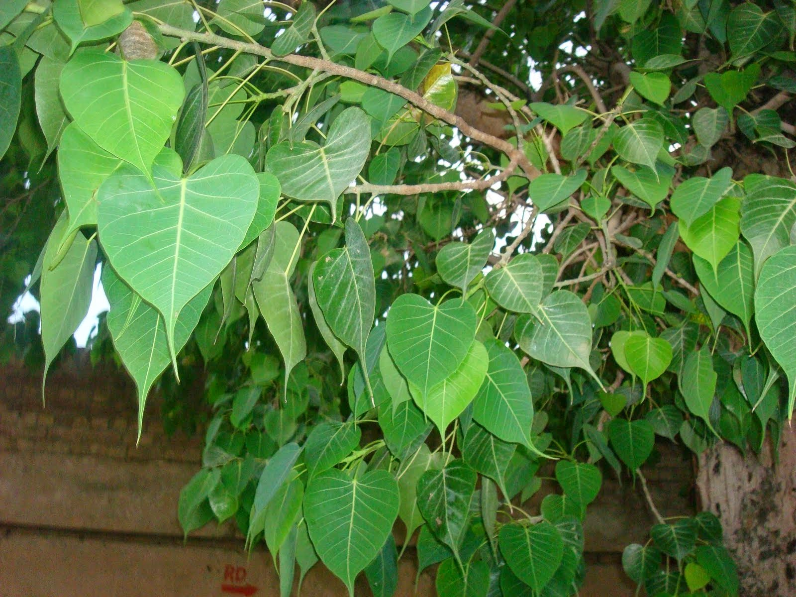 Ayurvedic Use of Peepal Tree