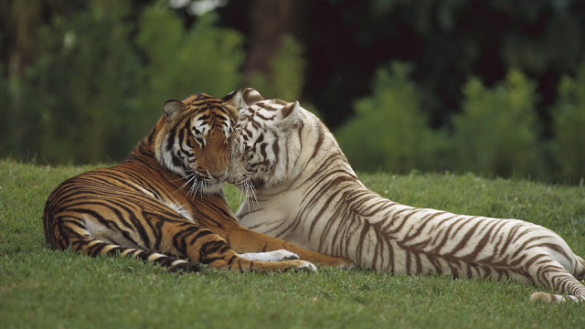Cute photo of two cuddling tigers