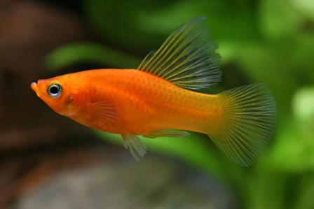Platy Fish With Images Fish Pictures Online