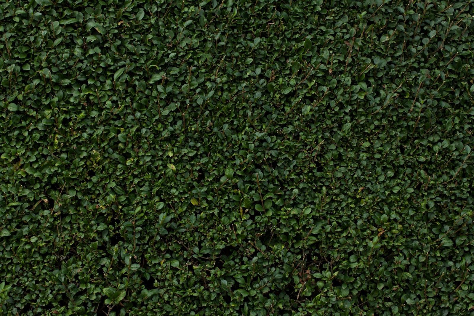 seamless dark grass texture. Leafy Hedge Texture Seamless Dark Grass S