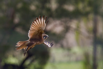 A photograph of a Brown Falcon taken in Sandy hollow, Australia
