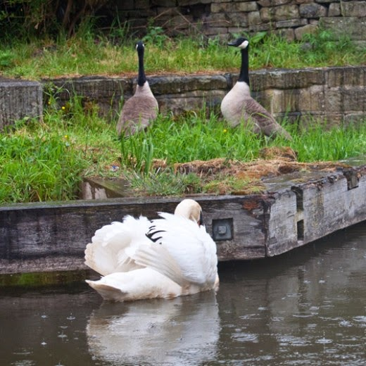 canada geese and mute swan