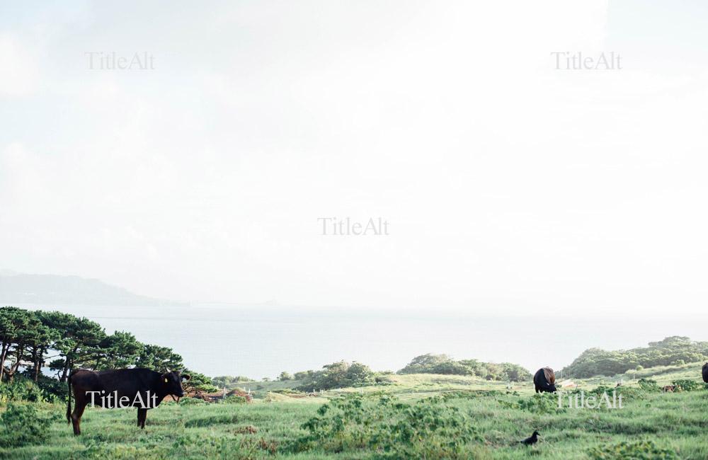 牧場でゆったり過ごす石垣牛