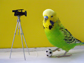 #15 Budgerigar Wallpaper
