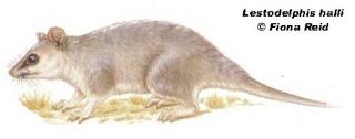 comadrejita patagonica Lestodelphys halli