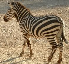Zoo Animals - Zebra