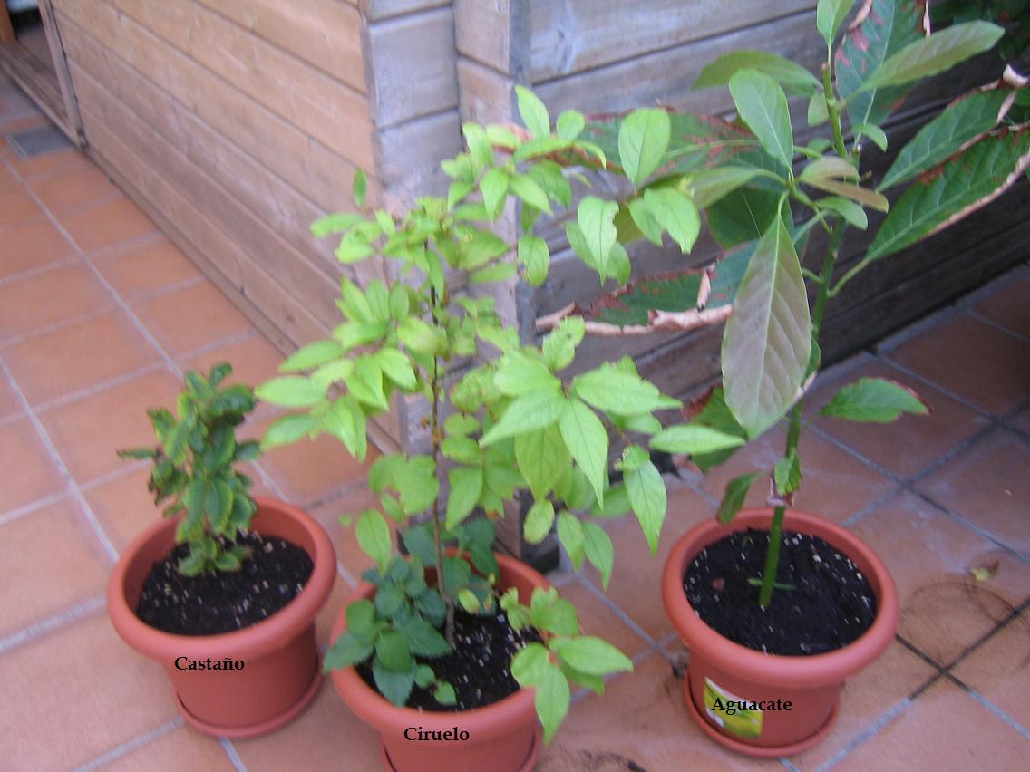 Sembrar aguacate en casa beautiful como cultivar aguacate - Como cultivar bonsai ...
