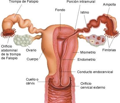 dudas gine: Anatomía genital femenina (órganos internos)
