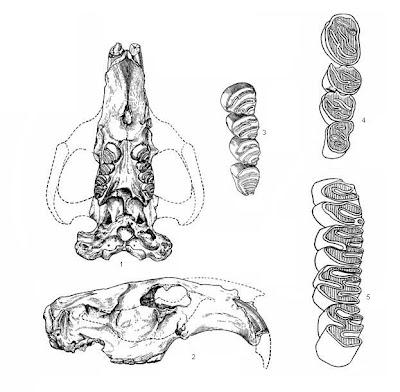 Trogonotherium skull