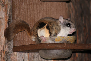 Flying squirrel eating peanut butter.