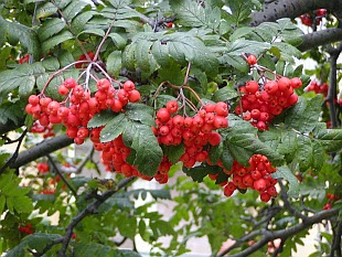 trees of the world serbal silvestre Sorbus aucuparia