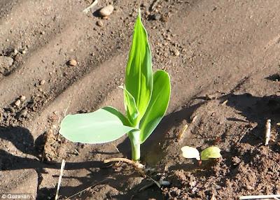 شاهد غريبة جدا عن نبات الذرة وهو ملون