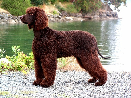 Irish Water Spaniel Best Breeds And Recommended Foods And