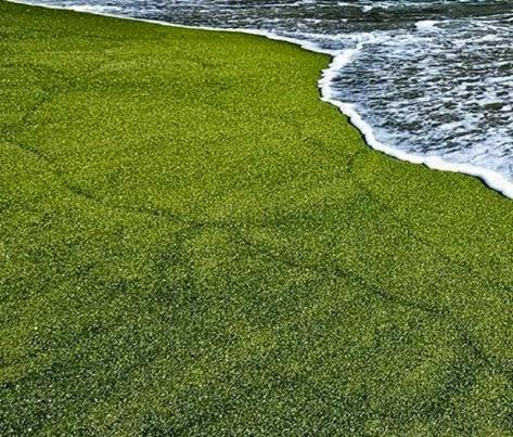 تعرف على صور غريبة لشاطى الرمال الاخضر