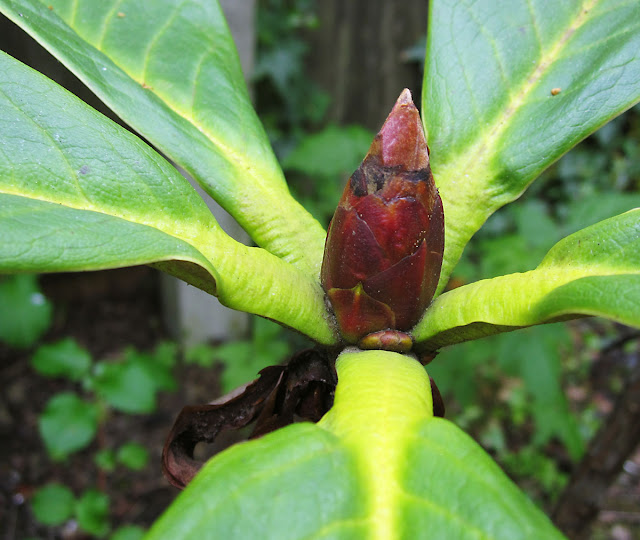The leaf bud of a fancy Rhododendron. Mid-April 2011.
