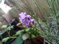 Magnifique fleur odorante, provenant du pied de lavande. Je trouve que l'on comprends très bien, sur cette image, le nom de la couleur lavande pour la fleur associée.