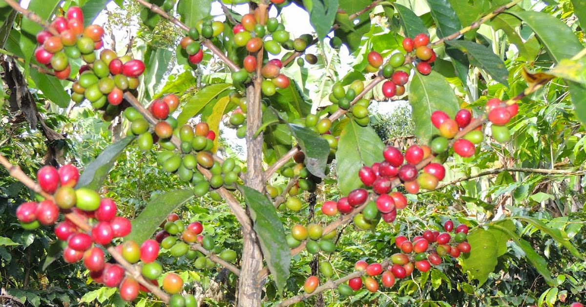 C mo lleg el caf a sudam rica licor de caf cafres for Cafres este jardin