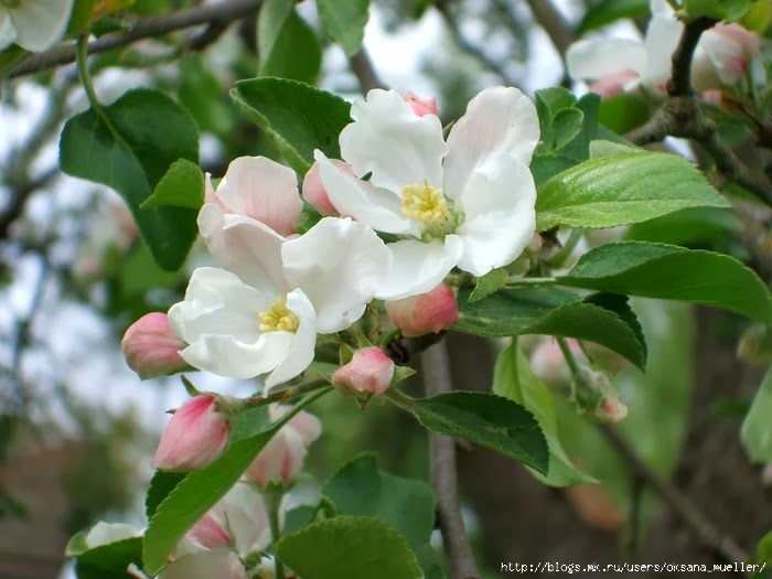 Цветущее дерево яблоня