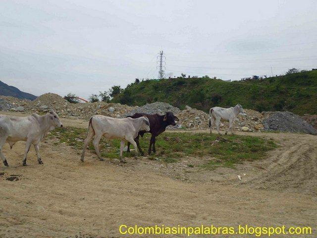 Vacas en Manada