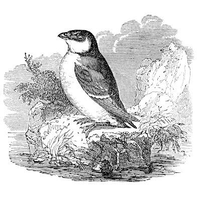Vintage птица Графика Auk