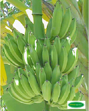 F vrier 2014 astuces agriculture for Banane plantain au barbecue