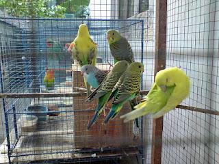 tips beternak burung parkit ocehankenari burung parkit yang dikenal