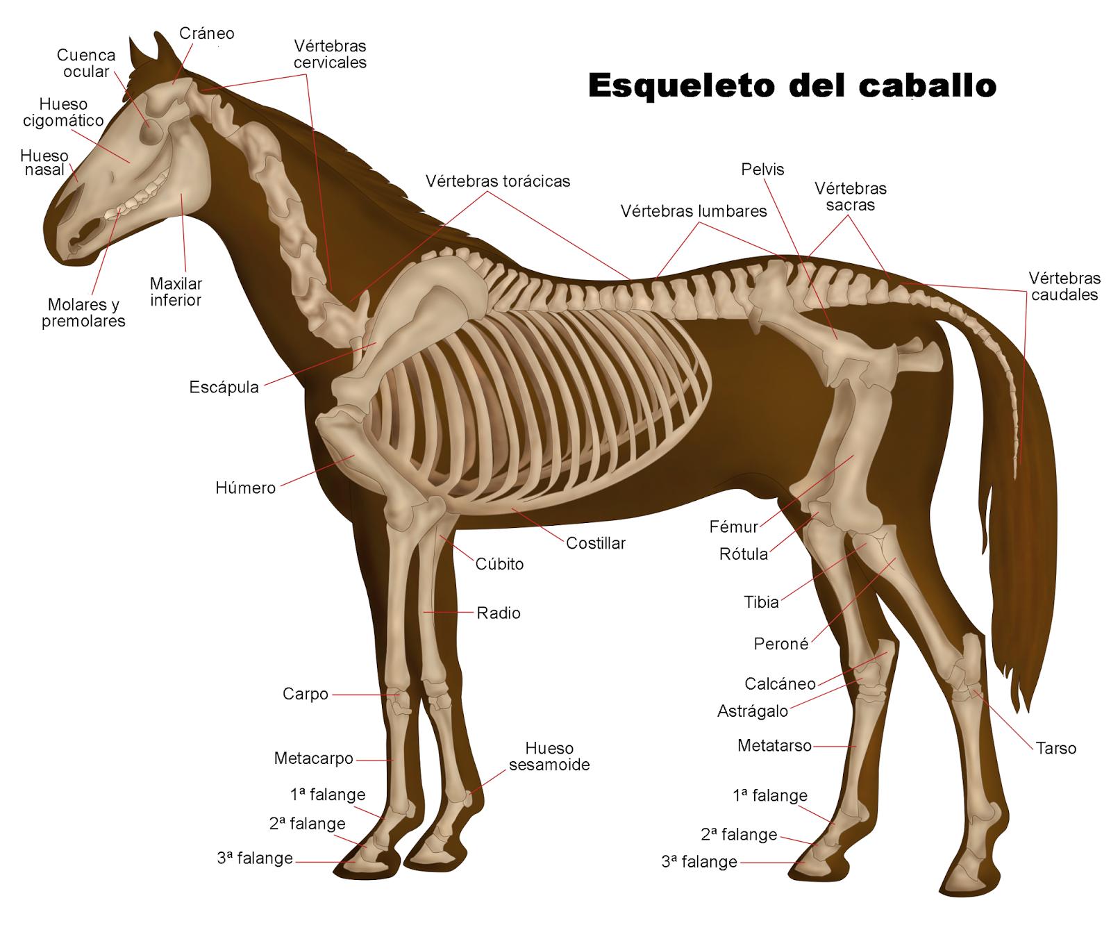 El Mundo del Caballo: La Anatomía del Caballo