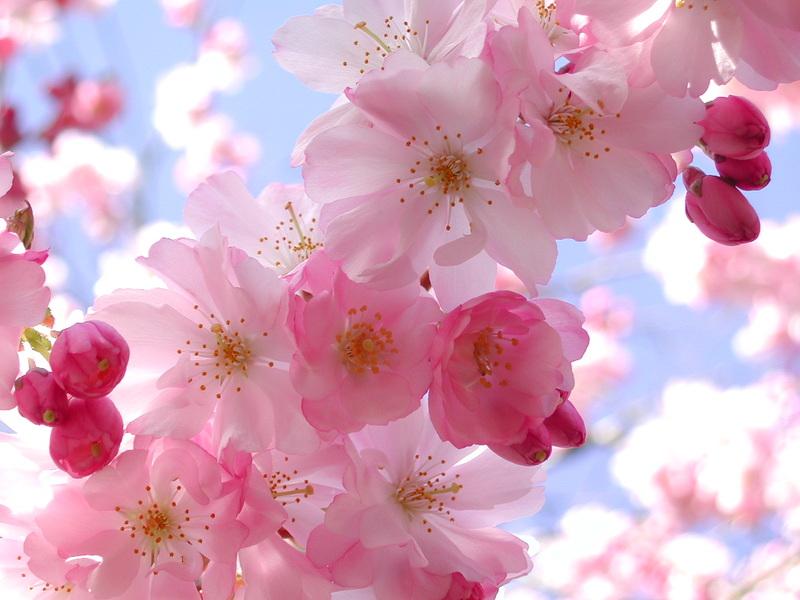 La ca ada flintridge real estate blog 2nd annual cherry - Descanso gardens cherry blossom festival ...