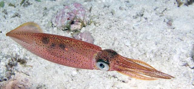 Moluscos, zoologia y calamar