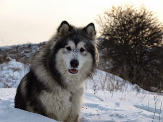 Giống chó Alaskan Malamute
