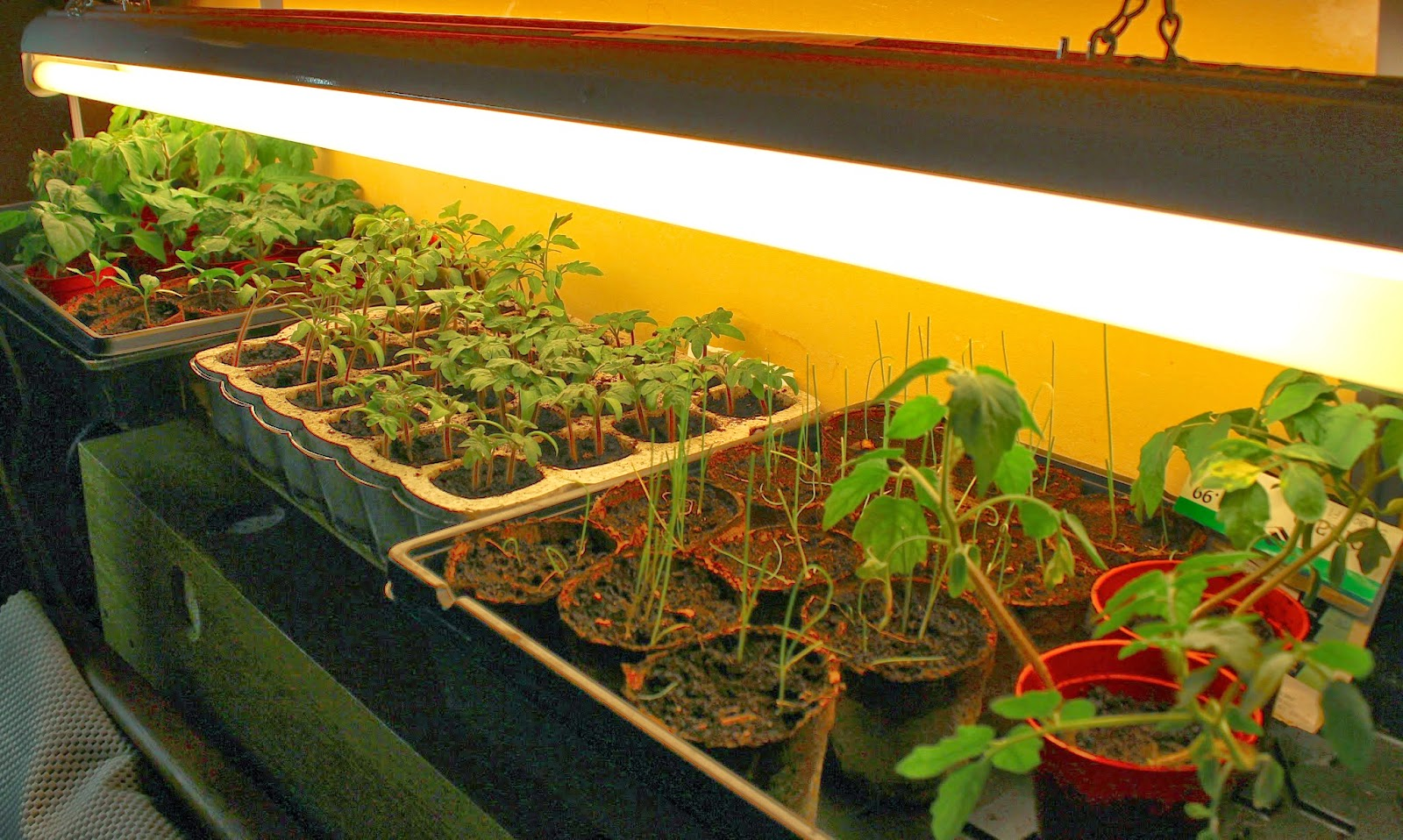 seedlings under grow lights