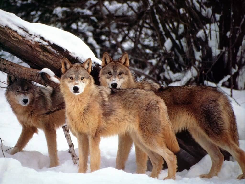 Interesting facts interesting facts about wolves