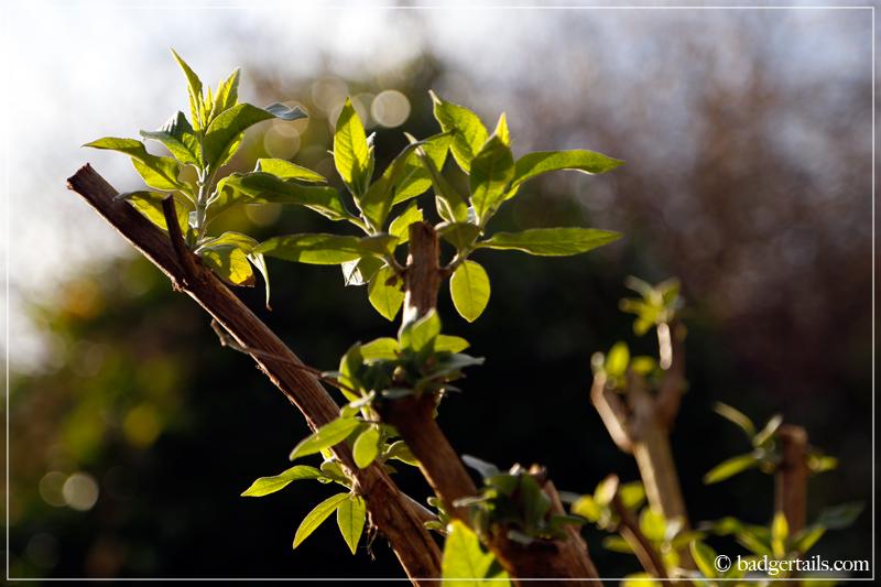 Buddleja shoots backlit by sunlight