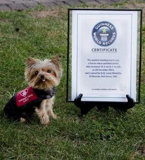 Miniature Yorkshire Terrier Lucy Smallest Working Dog On The Planet