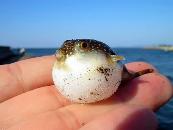 Baby Pufferfish
