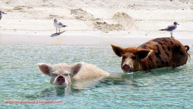 Đảo heo Big Major Spot – Bahamas 8